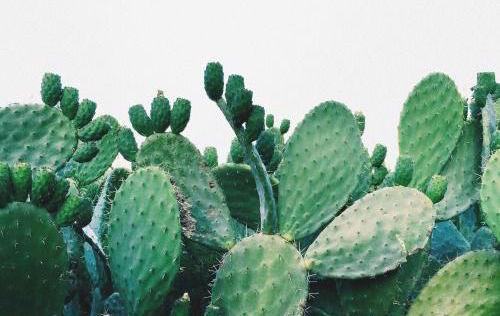 cactussen in huis