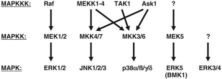 STRESS signaling pathways that modulate cardiac myocyte