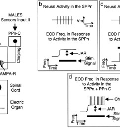 the long term resetting of a brainstem pacemaker nucleus by synaptic input a model for sensorimotor adaptation journal of neuroscience [ 1800 x 1138 Pixel ]
