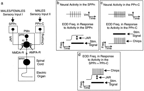 small resolution of the long term resetting of a brainstem pacemaker nucleus by synaptic input a model for sensorimotor adaptation journal of neuroscience