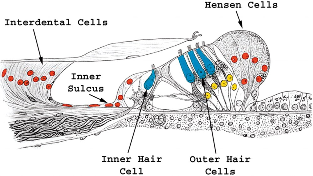 medium resolution of math1 gene transfer generates new cochlear hair cells in mature guinea pigs in vivo journal of neuroscience