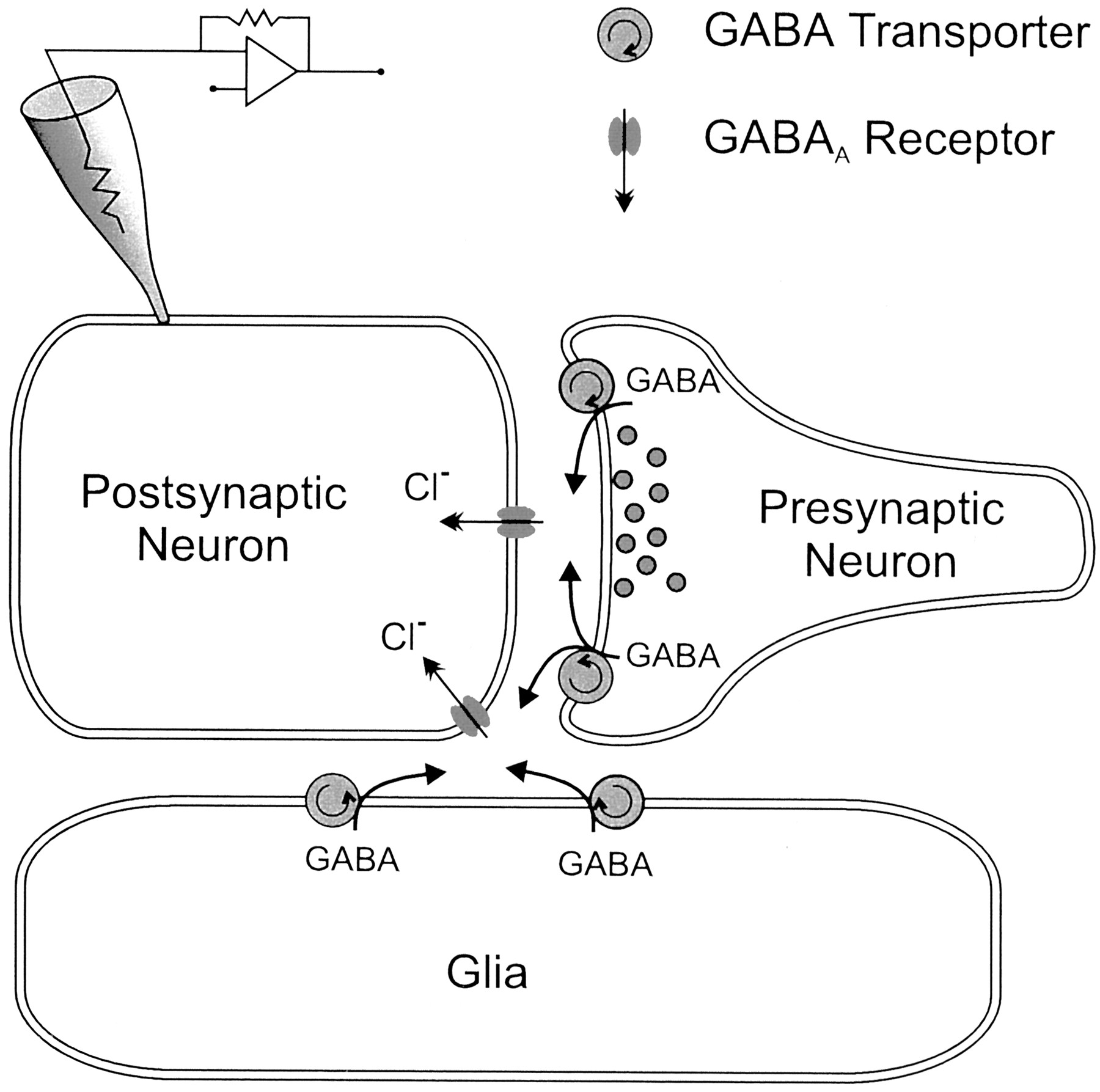 GABA Transaminase Inhibition Induces Spontaneous and