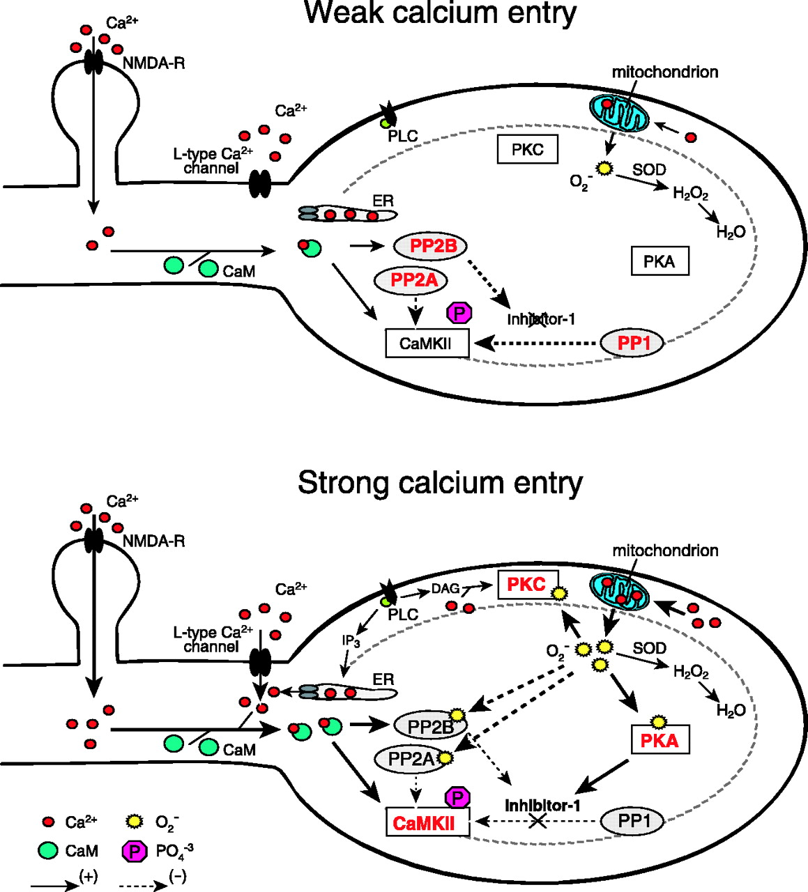 Strong Calcium Entry Activates Mitochondrial Superoxide