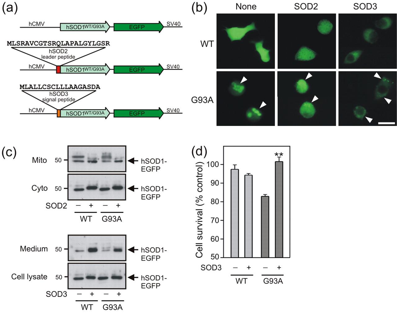 Impaired Extracellular Secretion Of Mutant Superoxide