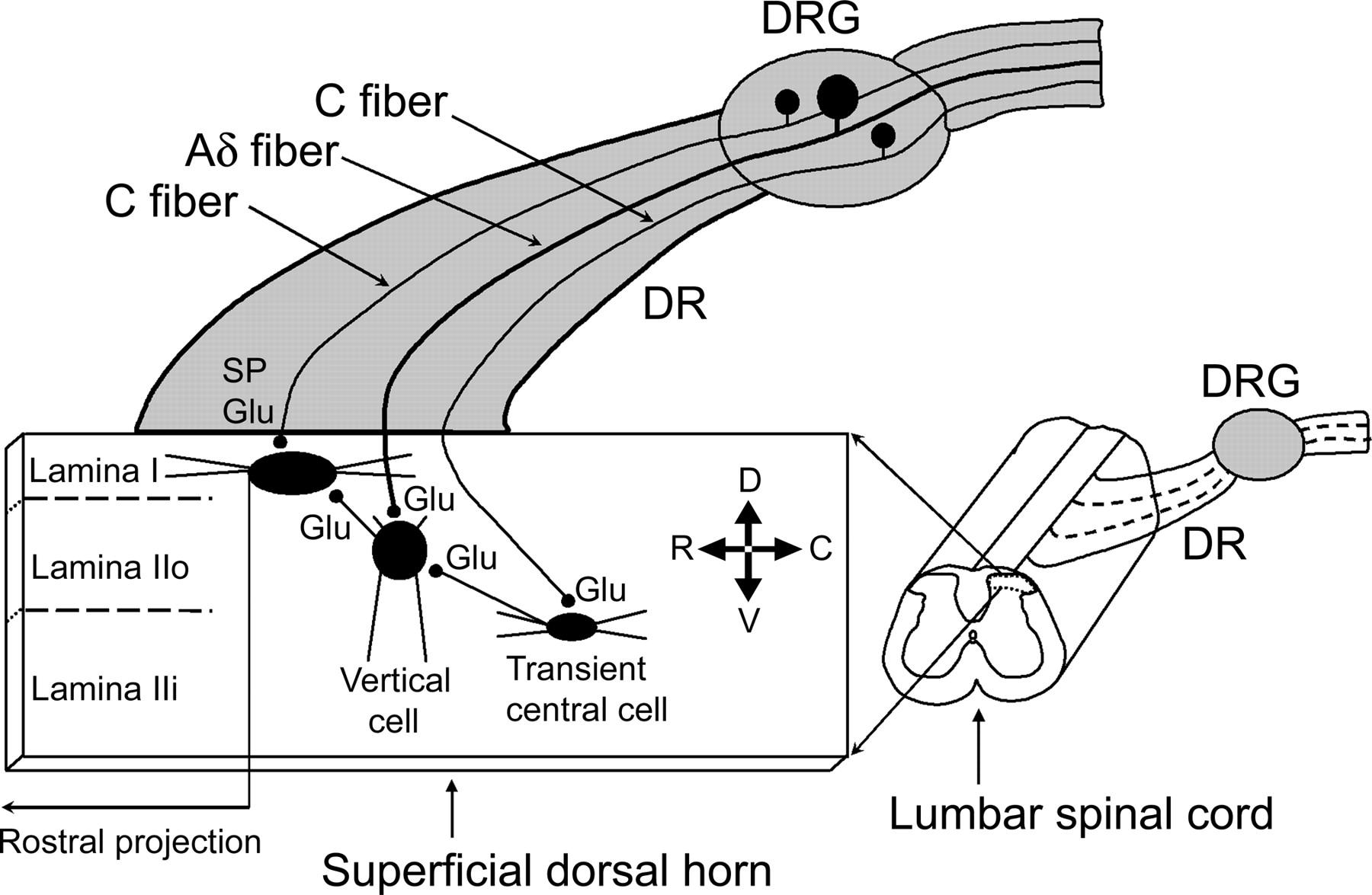 Modular Organization Of Excitatory Circuits Between