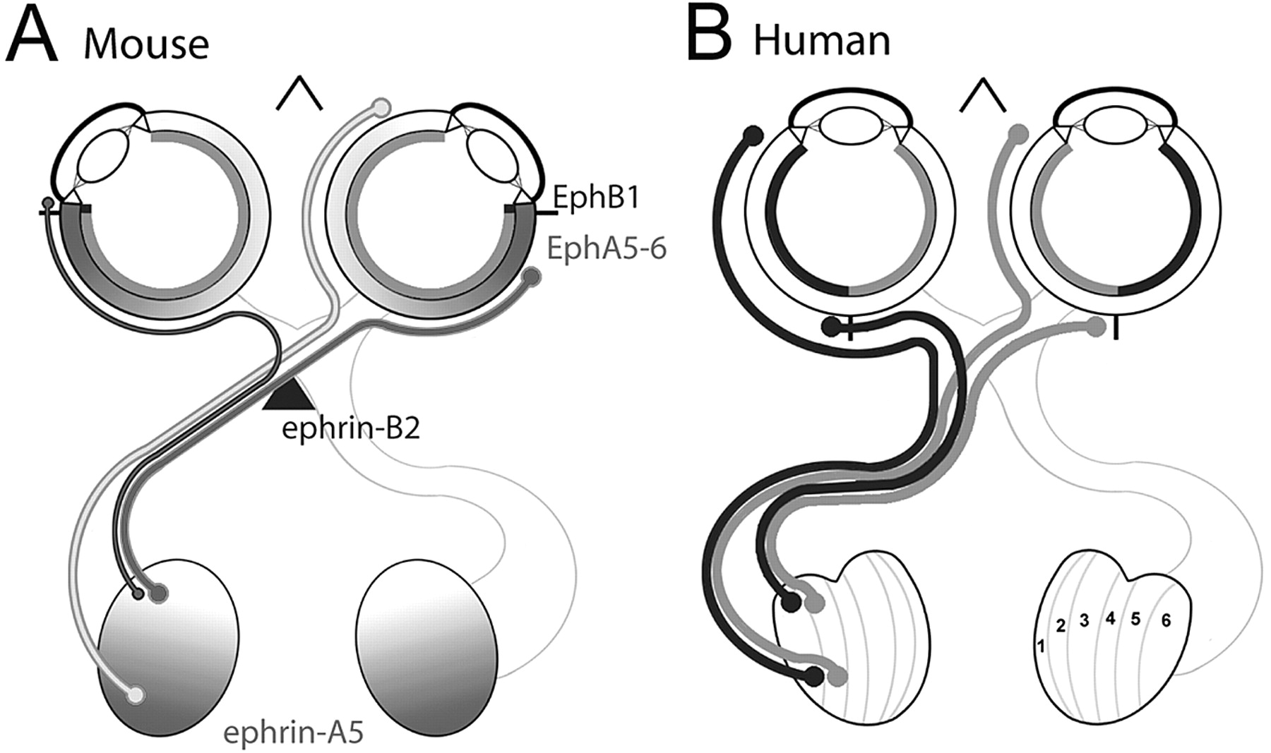 Mapping Labels In The Human Developing Visual System And