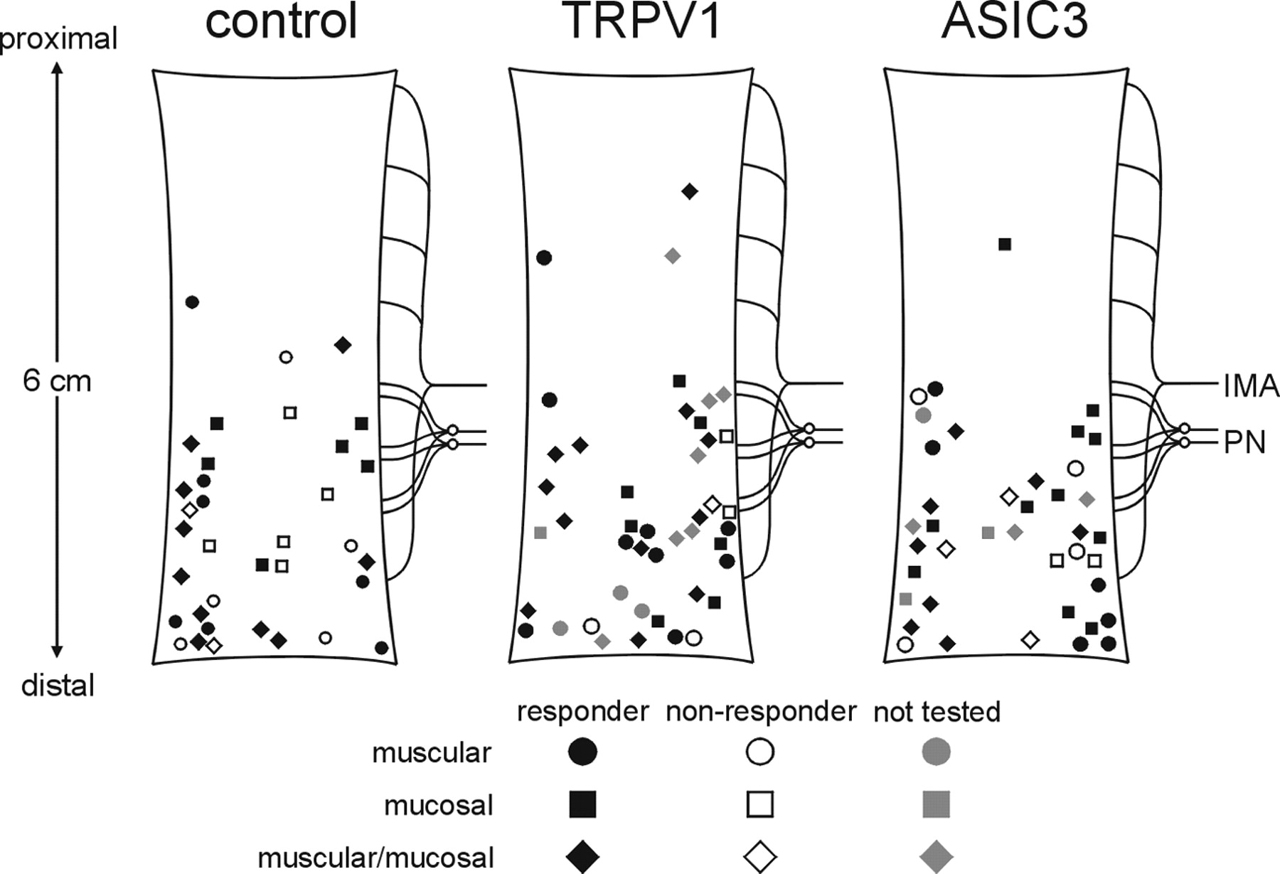 The Mechanosensitivity Of Mouse Colon Afferent Fibers And