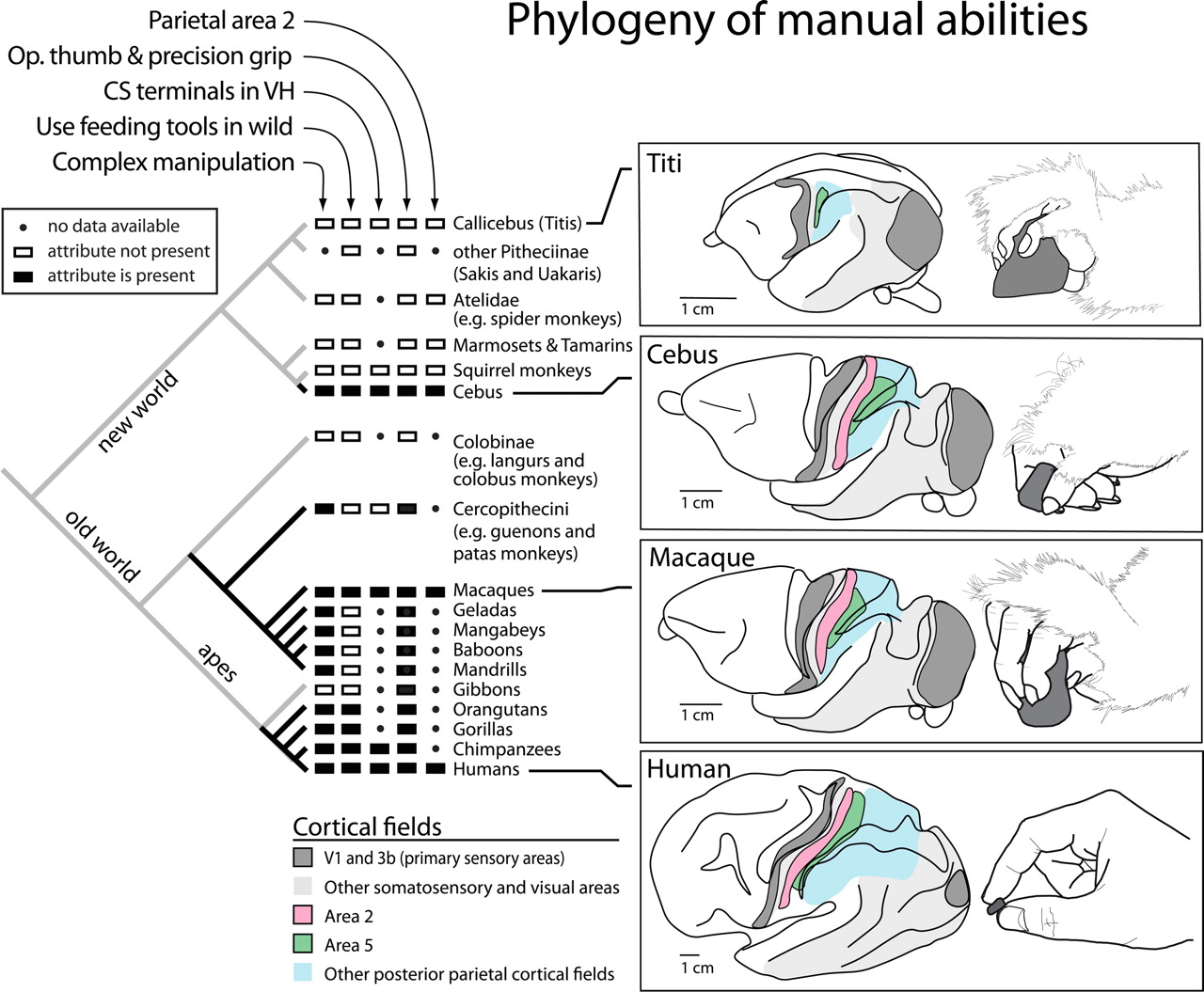 Parallel Evolution Of Cortical Areas Involved In Skilled