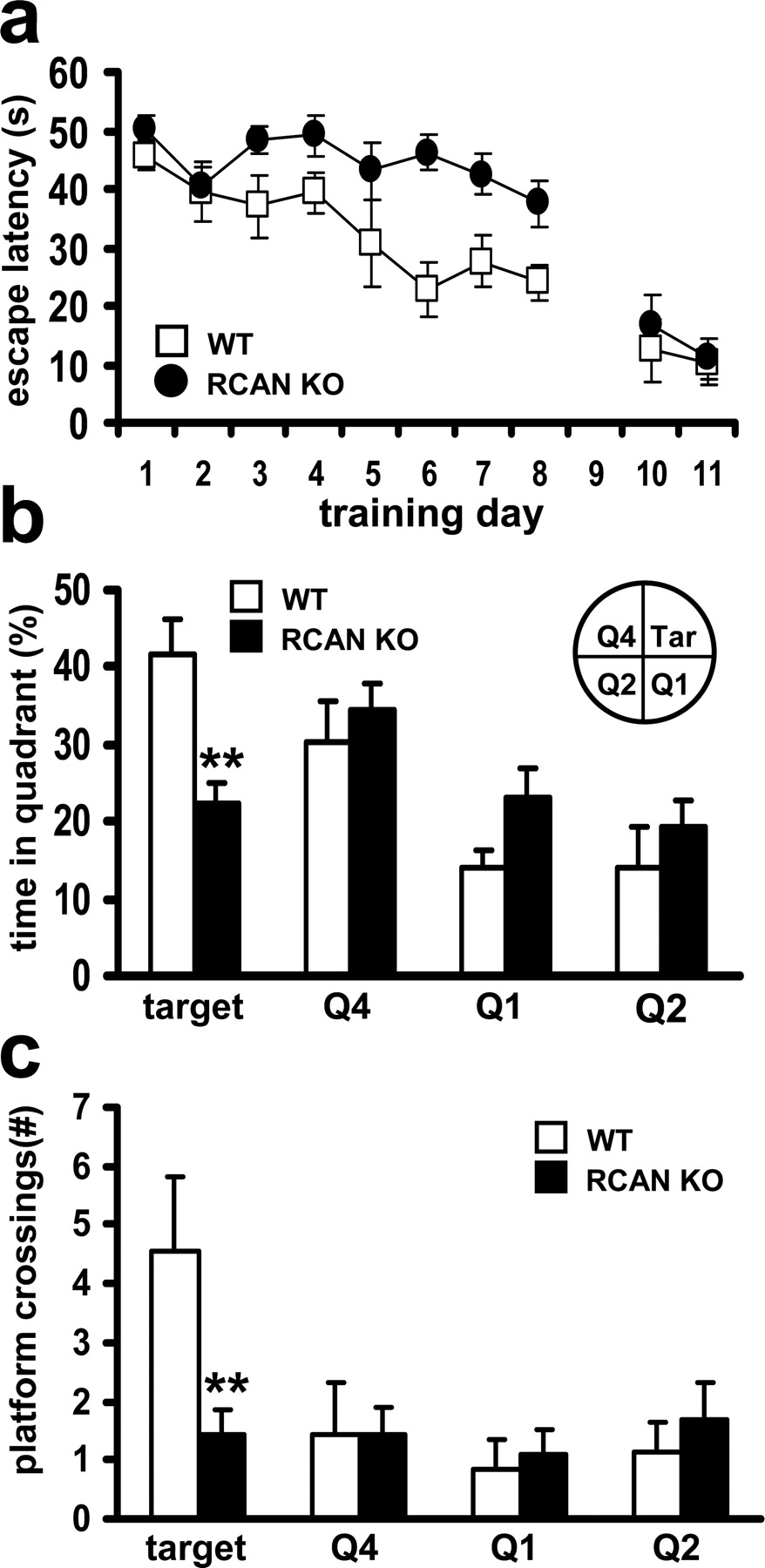 The Down Syndrome Critical Region Protein RCAN1 Regulates
