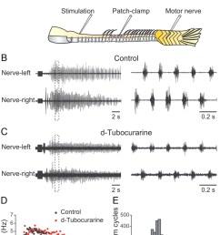 initiation of locomotion in adult zebrafish journal of neuroscience 460 3 phase motor wiring jin shin motor 3 phase wiring diagram [ 817 x 1280 Pixel ]