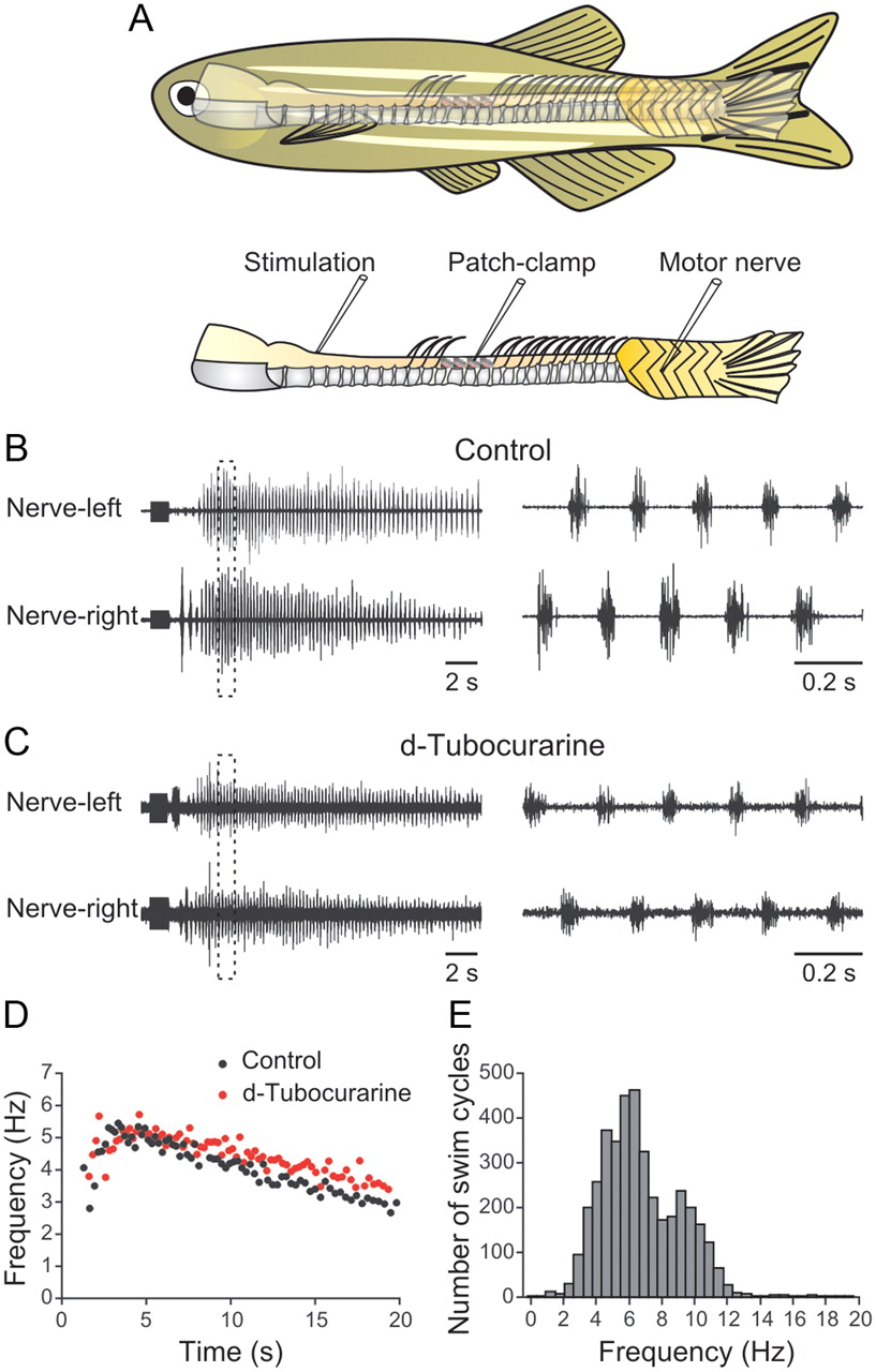 medium resolution of initiation of locomotion in adult zebrafish journal of neuroscience 460 3 phase motor wiring jin shin motor 3 phase wiring diagram