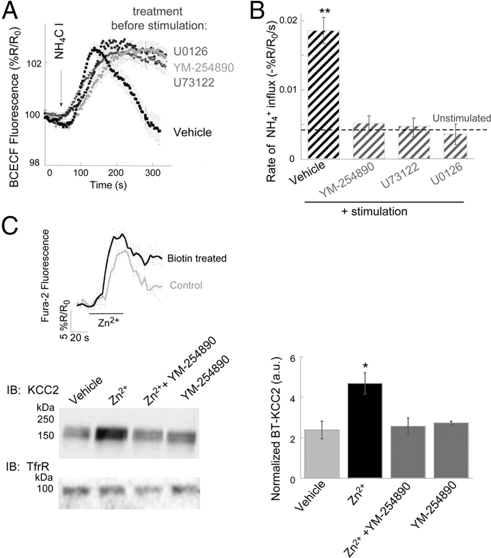 Upregulation Of Kcc2 Activity By Zinc Mediated Neurotransmission Via The Mznr Gpr39 Receptor