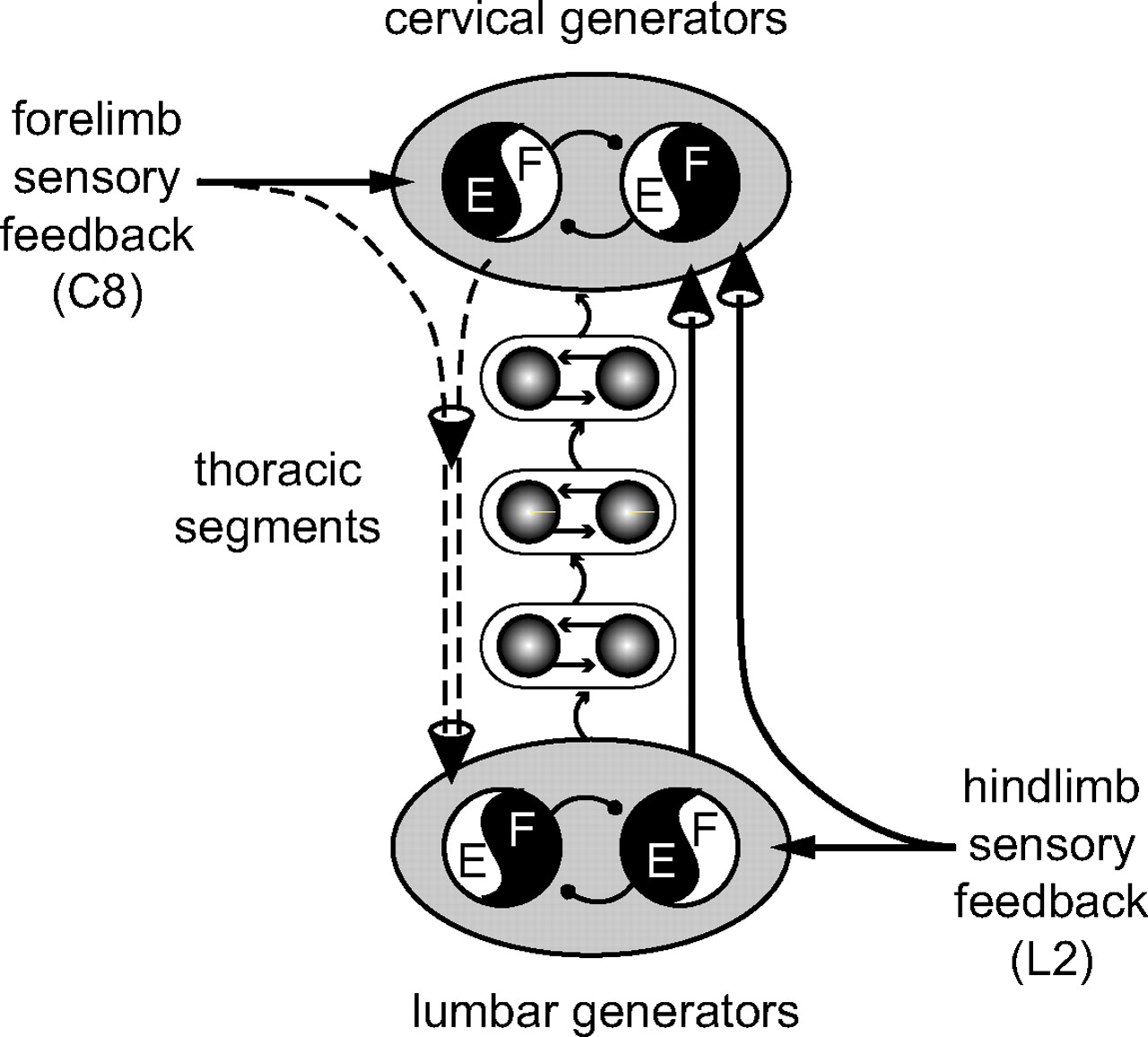 Cervicolumbar Coordination In Mammalian Quadrupedal