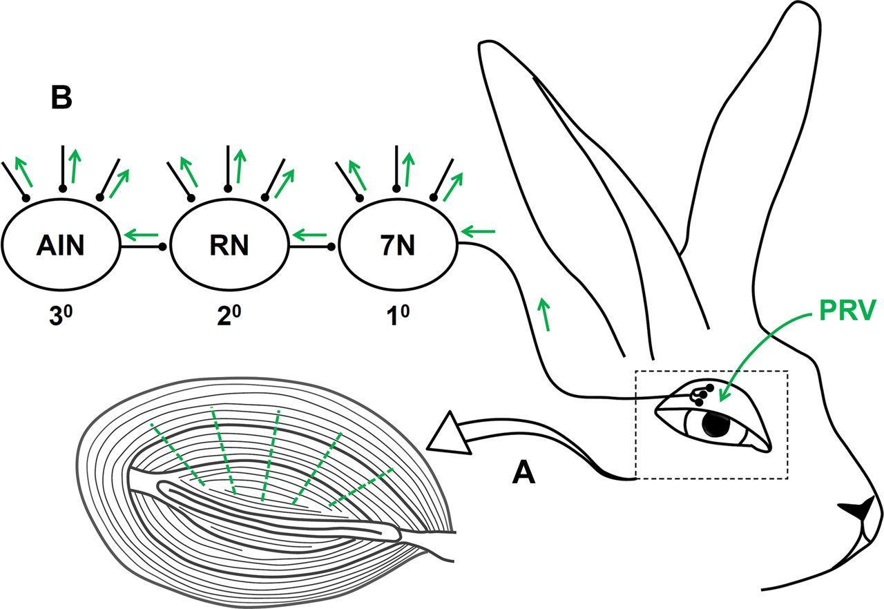 Anatomical Characterization Of A Rabbit Cerebellar