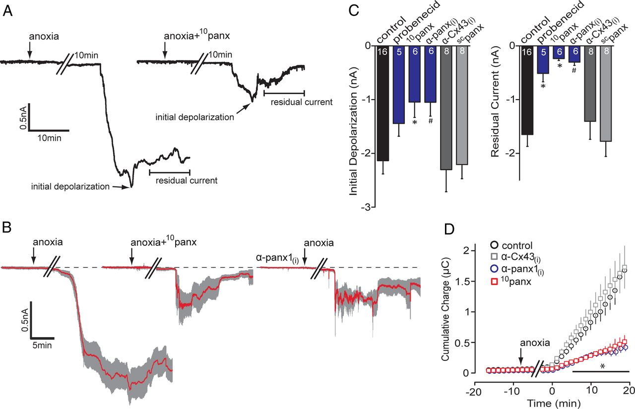 Anoxia Induced Nmda Receptor Activation Opens Pannexin Channels Via Src Family Kinases