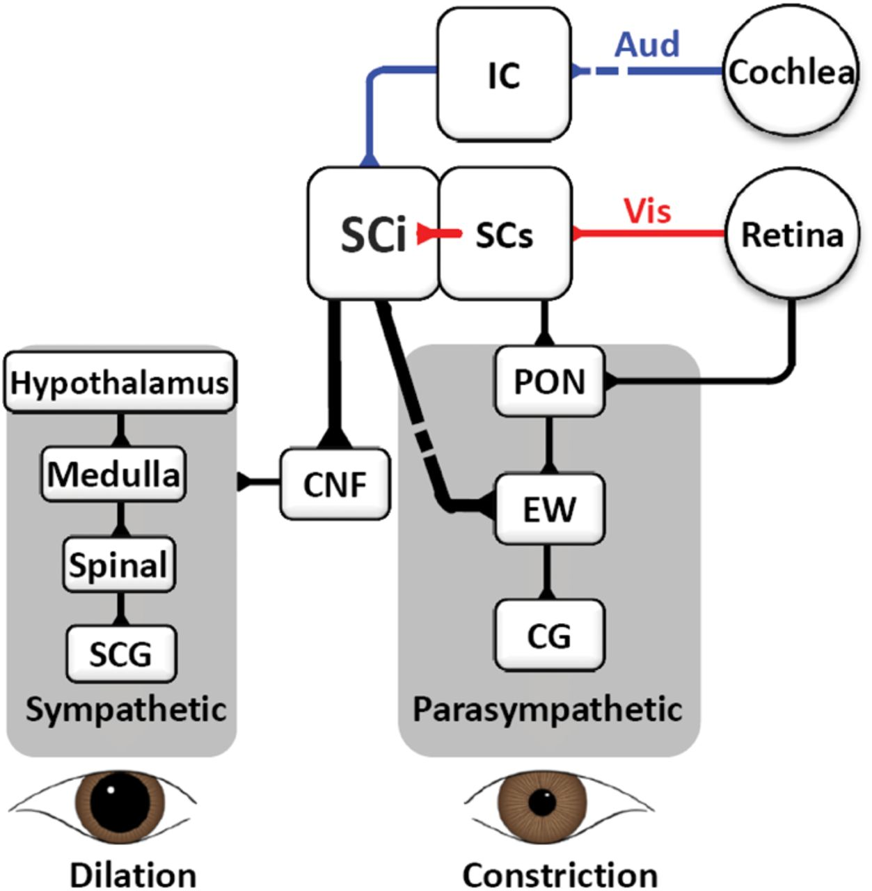 Transient Pupil Response Is Modulated By Contrast Based