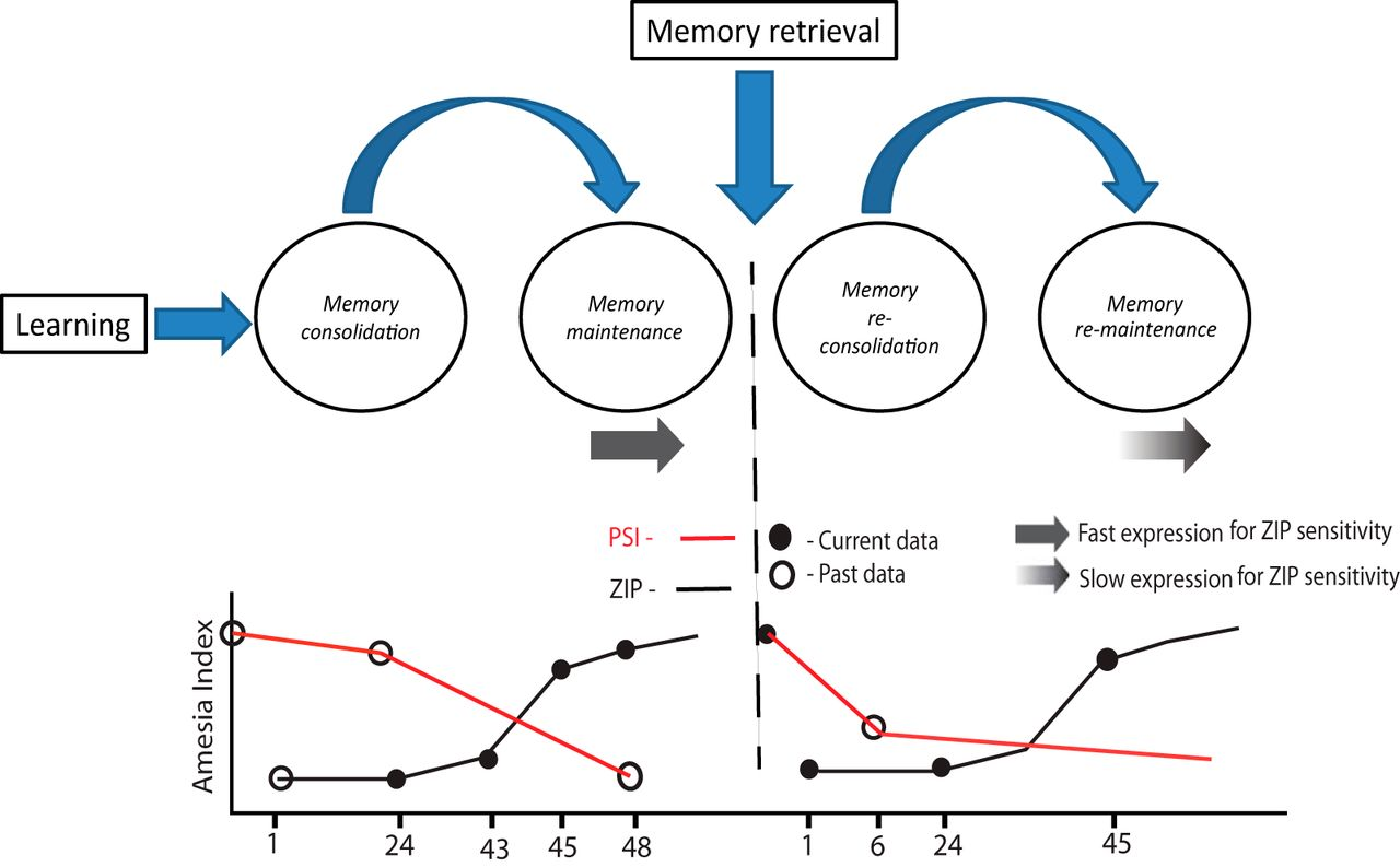 Memory Retrieval Has A Dynamic Influence On The