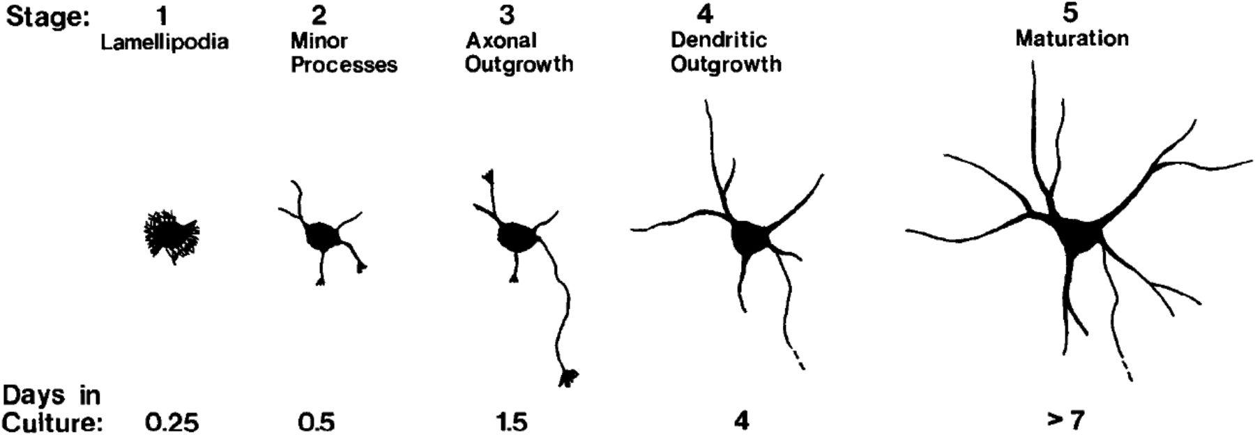 The Development of Neuronal Polarity: A Retrospective View