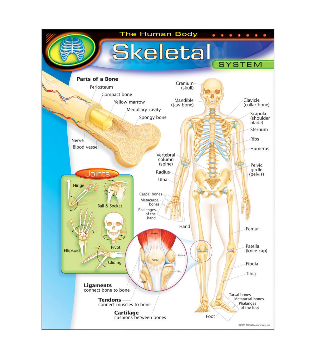 The Human Body Skeletal System Learning Chart 17 X22 6pk