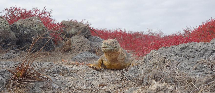 Iguana amarela terreste na Ilha de Plaza Sul nas Galápagos