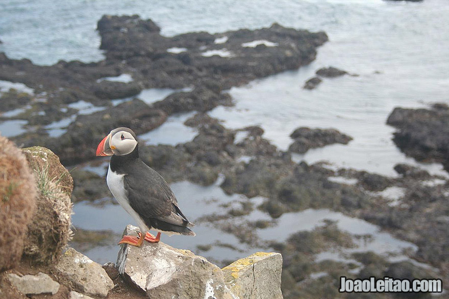 Adorable Atlantic puffin in Latrabjarg Iceland