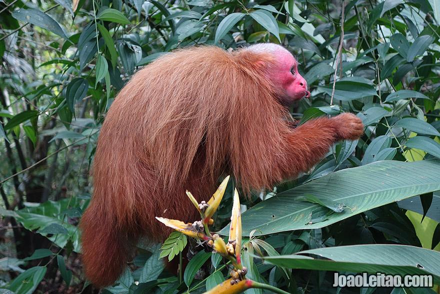 Bald Uakari or Red Face Monkey in Amazon Peru