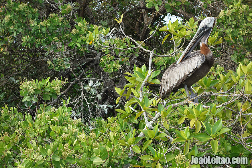 Brown Pelican from Galapagos on top of a tree