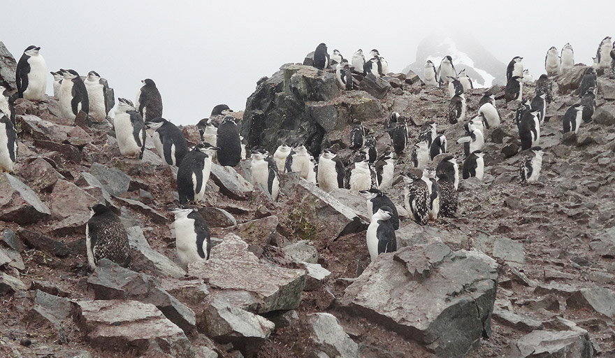 Chinstrap penguin colony in Half Moon Island