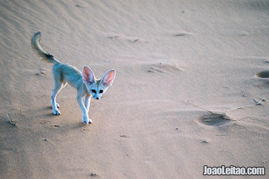 Fennec Fox from Sahara Desert