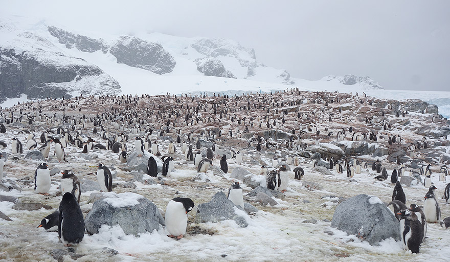 Gentoo penguin colony in Cuverville Island