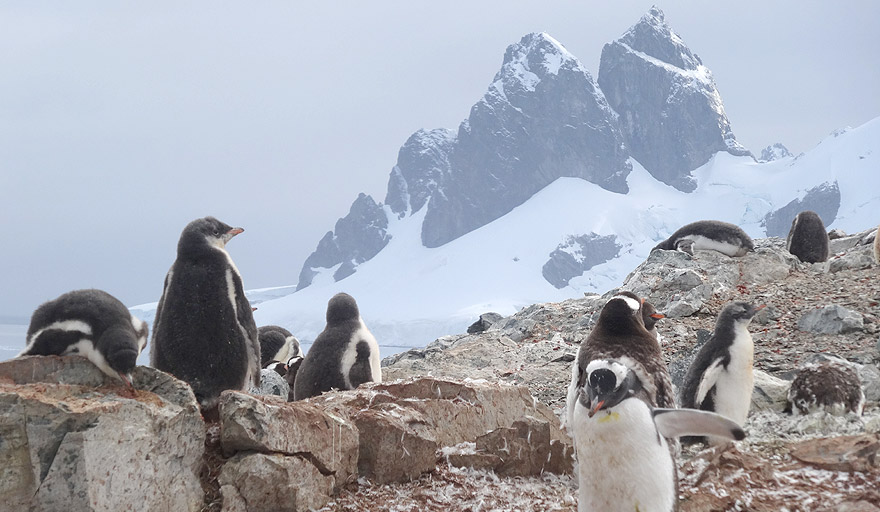 Gentoo penguin colony in Danco Island