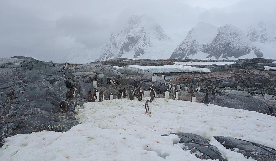 Gentoo penguin colony in Petermann Island