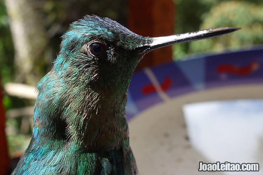 Amazing Hummingbird in Cocora Valley Colombia