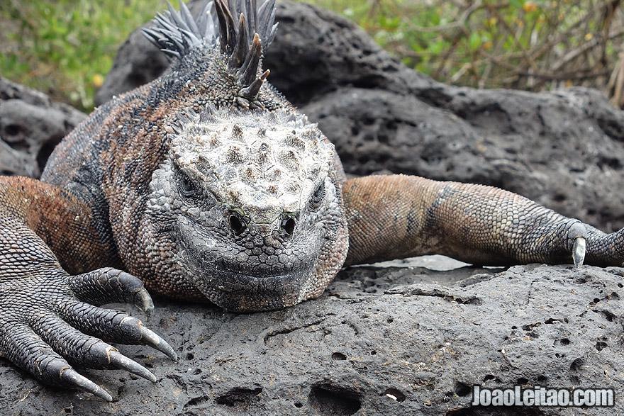 Iguana in Galapagos Islands, Ecuador