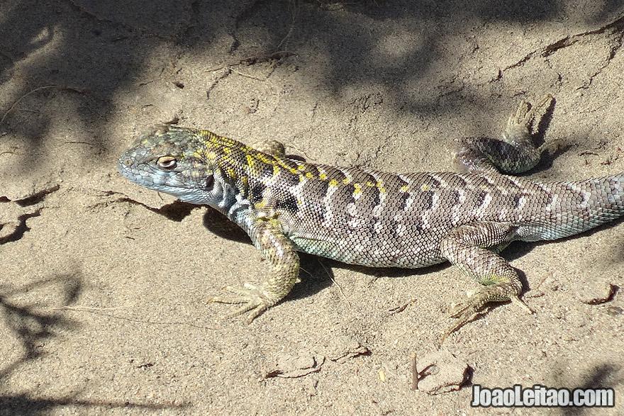 Lizard in Valdes Peninsula Argentina