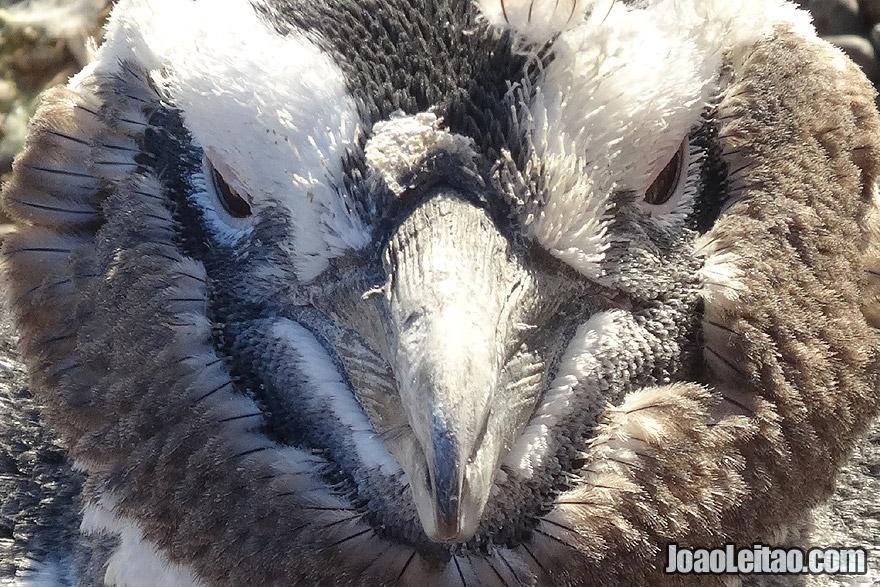 Magellanic Penguin Face Bad Ass looking, Argentina