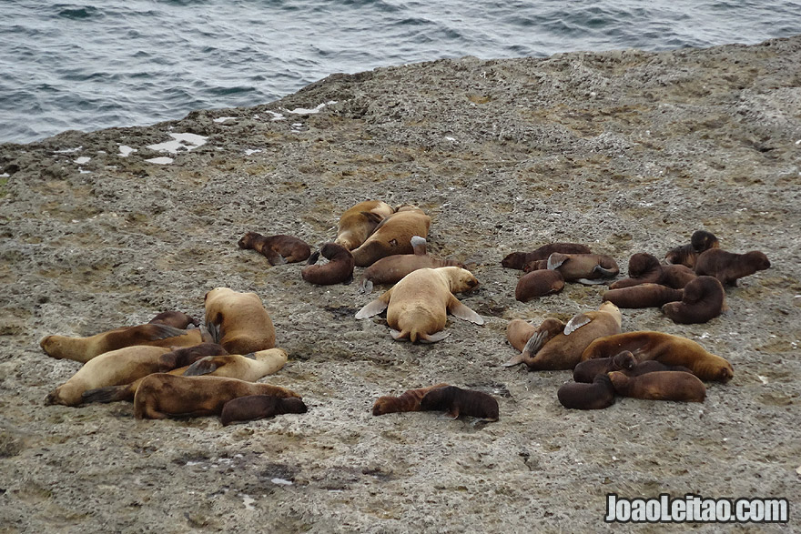 Sea Lions in Valdes Peninsula Argentina
