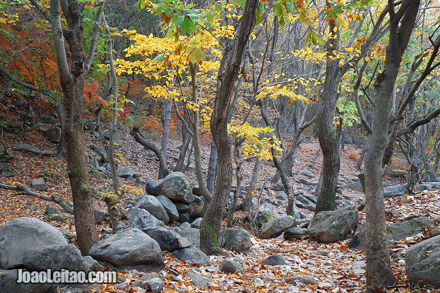 Forest in Mt. Kuwol Natural Park. In addition to an incredible nature of the beautiful Mt. Kuwol Natural Park there are still several Buddhist monasteries and many tombs of kings of ancient Korean dynasties.