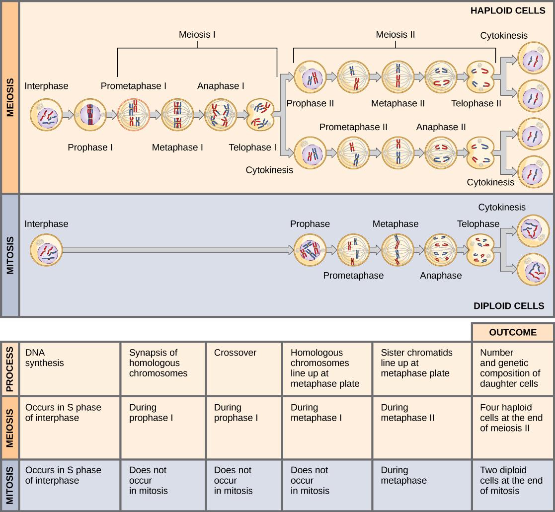 11 1 The Process Of Meiosis Meiosis Andual