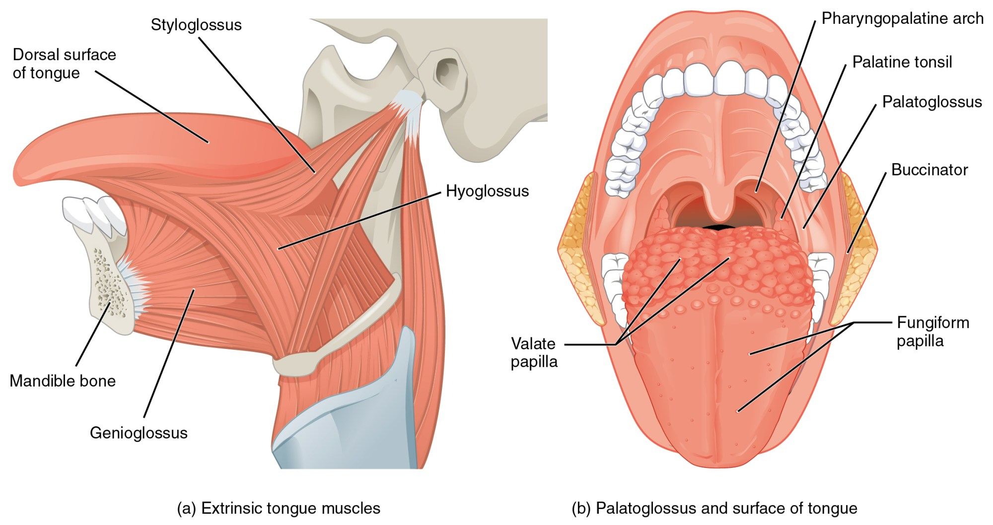 hight resolution of muscles that move the tongue