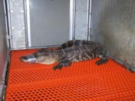 An alligator, similar to this one found by Johnston County Animal Control officials in 2007, was stolen from a Johnston County home on Friday
