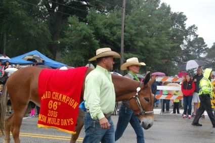 Despite the weekend showers, the 66th annual Mule Days parade still packed downtown Benson on Saturday - as it does every year. Crowds lined the sidewalks and cheered from underneath umbrellas as the procession of more than 100 entries made its way along Main Street. Above, Oxford's Amy Privett and grand champion mule Paco Bueno were at the head of the line. Courtesy The Daily Record