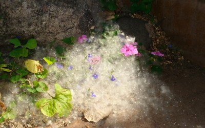 A Drift of Cottonwood Snow