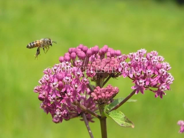 Honey Bee and Swamp Milkweed
