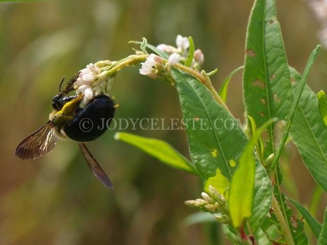 Bee on Polygonum