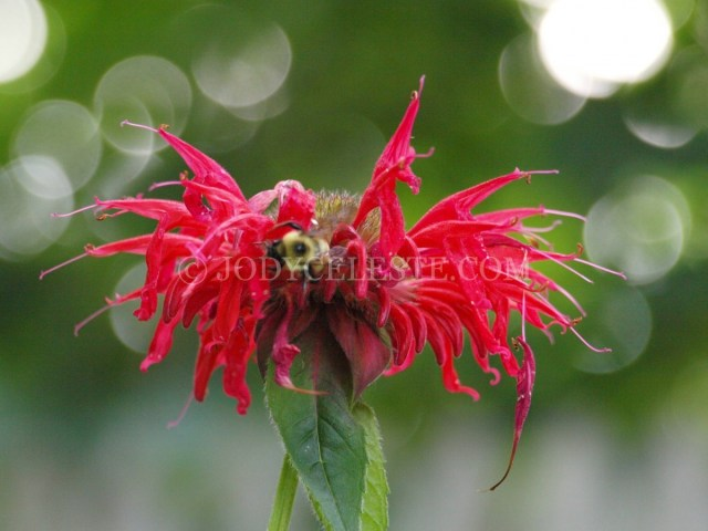 Honey Bee on Bee Balm
