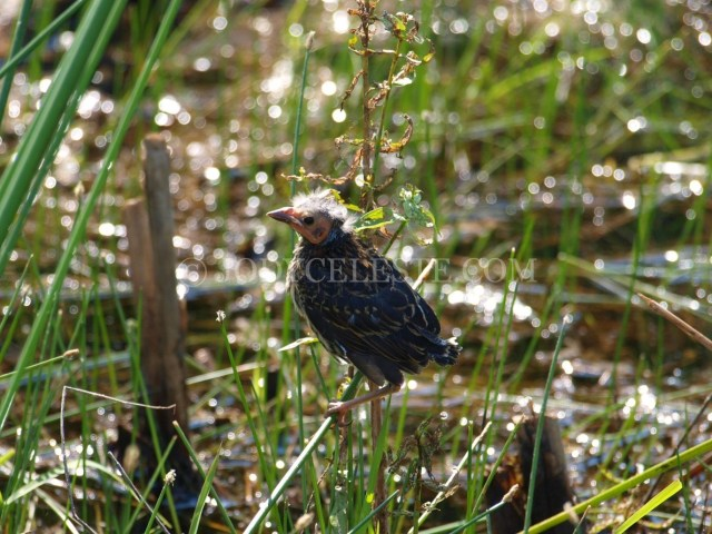 Red-Winged Blackbird Chick
