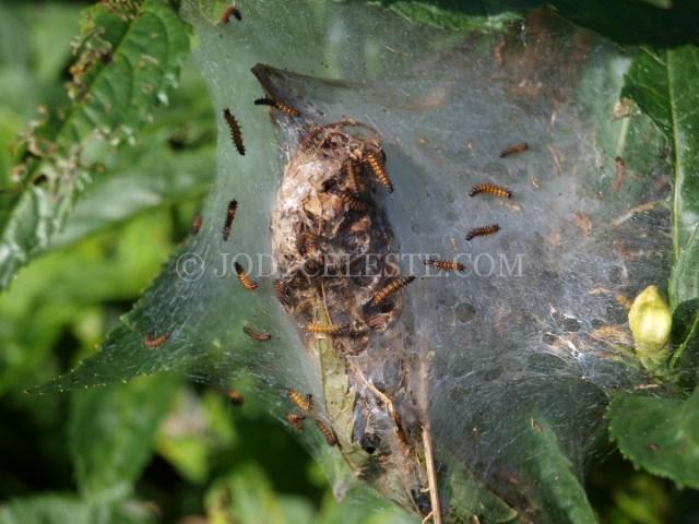 Baltimore Checkerspot Caterpillars on Turtlehead