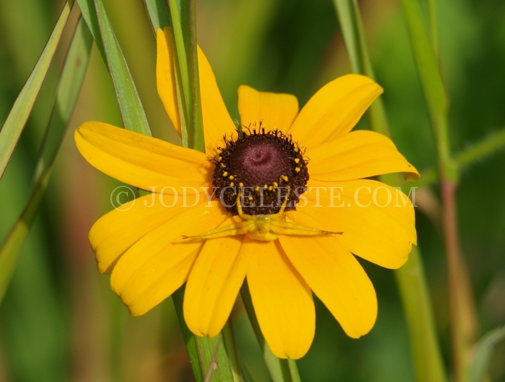 garden spider, yellow spider,