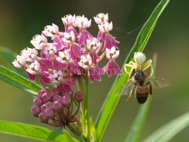 Crab Spider Eating
